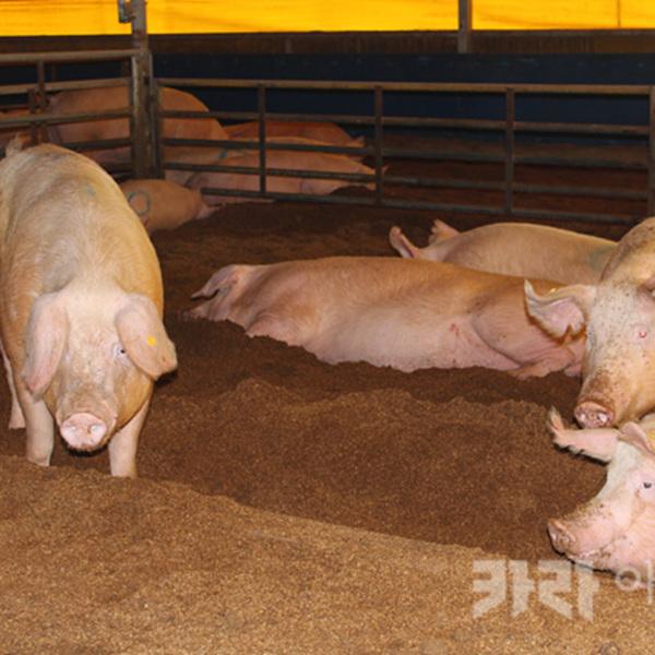 거창 돼지 동물복지 농장 [사진그림류]