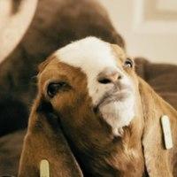 Goat : A Short Film Trilogy [동물영화]