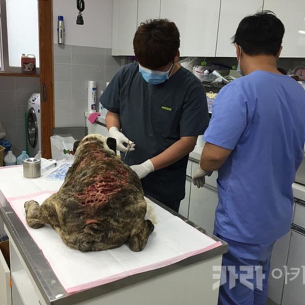 세종시 애니멀호더 구조 동물 꾹이 치료 [사진그림류]