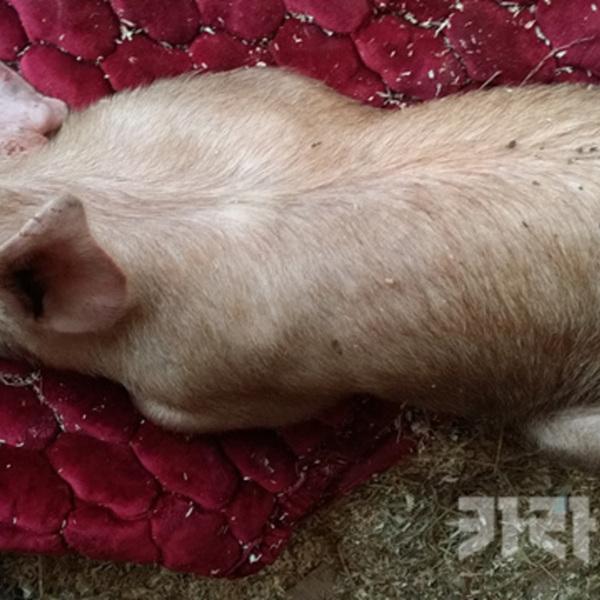 자유로 돼지 구조 [사진그림류]