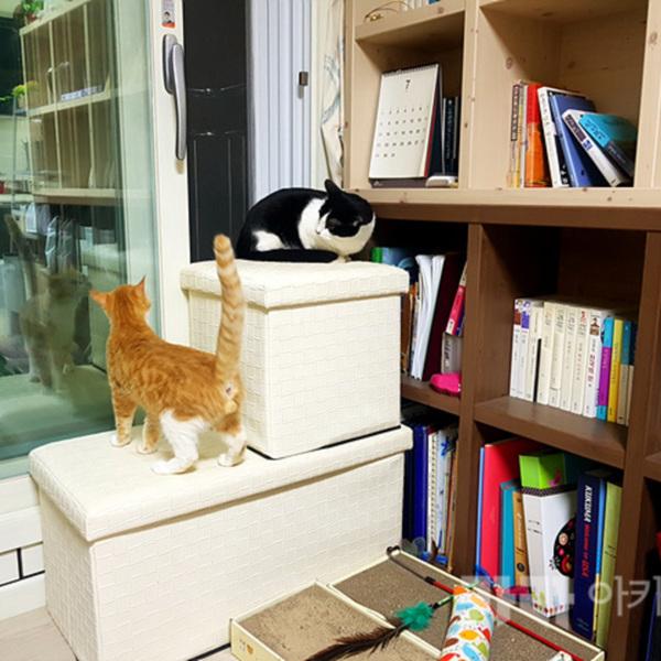 (입양후기-고양이) 망고 [사진그림류]