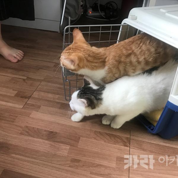 (입양후기-고양이) 코코,애플 [사진그림류]